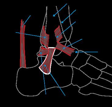 Ligament collatéral fibulaire